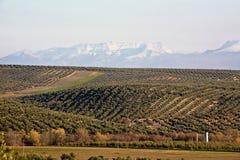 Ökologische Bearbeitung von Olivenbäumen in der Provinz von Jaen Stockfoto