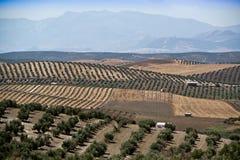 Ökologische Bearbeitung von Olivenbäumen in der Provinz von Jaen Stockfotos