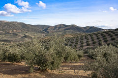 Ökologische Bearbeitung von Olivenbäumen in der Provinz von Jaen Lizenzfreie Stockfotografie