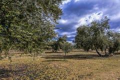 Ökologische Bearbeitung von Olivenbäumen in der Provinz von Jaen Lizenzfreies Stockfoto