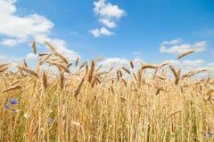Ökologische goldene Getreide in der hellen Leuchte Lizenzfreie Stockbilder