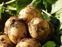 Ökologische Kartoffeln Lizenzfreies Stockfoto