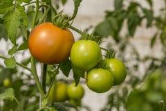 Ökologische selbstgezogene unausgereifte Tomaten Lizenzfreie Stockbilder