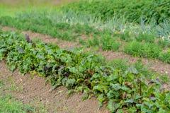 Ökologischer Gemüsegarten Lizenzfreies Stockfoto
