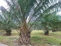 Öl-Palme-Plantage Lizenzfreies Stockbild
