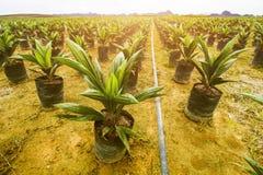 Öl-Palmen-Plantagen-oder Öl-Palmen-Säen Stockfotos