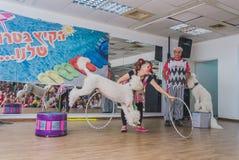 Öl-Sheva ISRAEL - den vita cirkuspudeln hoppar till och med en beslagclown-kvinna, Juli 25, 2015 Royaltyfri Foto