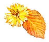 Ölen Sie Illustration des abgehobenen Betrages der trockenen gepressten zerstreuten Chrysantheme des Satzes Stockbilder