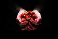 Ölpalmenfrüchte auf Blut umfassten Hände Lizenzfreies Stockfoto