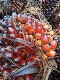 Ölpalmenfrucht stockfotos