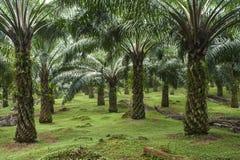 Ölpalmenplantage Stockbilder