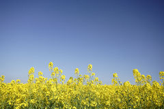 Ölraps-Blumen Stockbilder