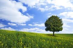 Ölrapsfeld und einsamer Baum Stockfotos