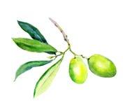 Ölzweig - Gemüse und Blätter der grünen Oliven watercolor Stockfoto
