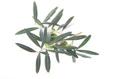 Ölzweig mit den grünen Oliven lokalisiert auf weißem Hintergrund lizenzfreie stockbilder