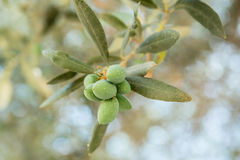 Ölzweig mit grünen Oliven Stockfotos