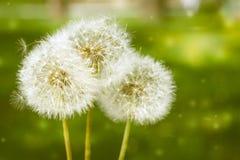 3 önska Blowballsmaskrosor på en gräsplan parkerar bakgrund Copyspace fotografering för bildbyråer