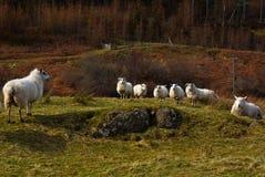 Önska ett möte med fåren Arkivfoton