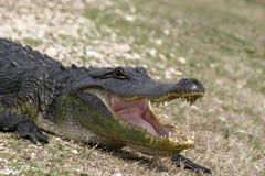 öppen amerikansk mun för alligator Arkivbilder