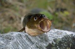 öppen fiskmun Arkivbild
