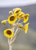Öppen Freilejon blomma Royaltyfri Fotografi