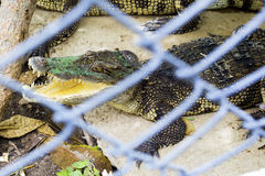 öppen krokodilmun Royaltyfri Foto