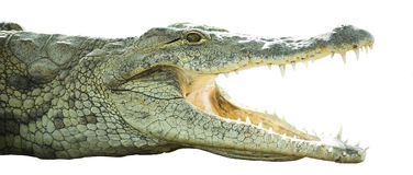 öppen krokodilmun Royaltyfria Bilder