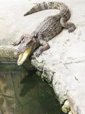 öppen krokodilmun Arkivbilder