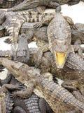 öppen krokodilmun Arkivfoton