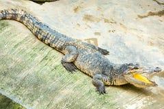 Öppen mun för farlig krokodil i lantgård i Phuket, Thailand Royaltyfri Fotografi