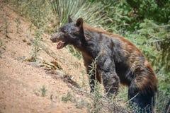 Öppen mun för svart björn på bergssidan Colorado arkivbild