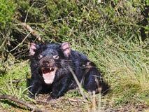 Öppen mun för Tasmanian jäkel 02 Royaltyfri Bild