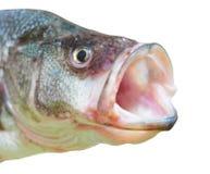 öppen perch för fiskmun Fotografering för Bildbyråer