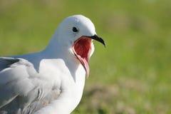 öppen seagull för mun Arkivbild