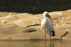 öppen stork för bill Arkivfoton