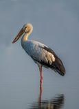öppen stork för bill Royaltyfria Foton