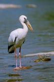 öppen stork för bill Royaltyfri Bild