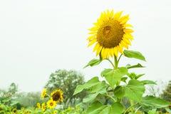 Öppen trädgård för solrosfält arkivfoton