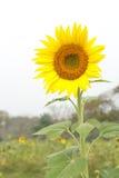 Öppen trädgård för solrosfält royaltyfri foto