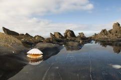 öppen white för mussla Arkivfoto