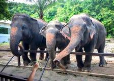 Öppen zoo för thailändsk elefant royaltyfria foton