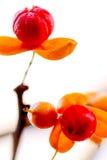 Öppna Berry Seeds Fotografering för Bildbyråer
