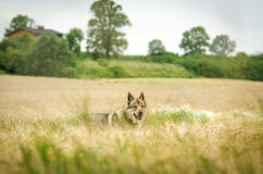 Öppna fält med trädet och vargen Arkivbild