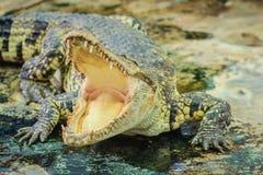 Öppna käkar för krokodil som är klara att slå Royaltyfri Foto