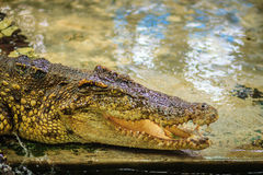 Öppna käkar för krokodil som är klara att slå Arkivbilder