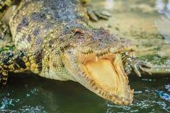 Öppna käkar för krokodil som är klara att slå Arkivfoton