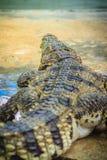 Öppna käkar för krokodil som är klara att slå Royaltyfria Bilder