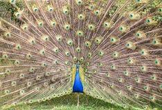 öppna påfågelsvanen Royaltyfri Fotografi
