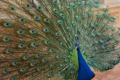 öppna påfågelsvanen arkivbilder