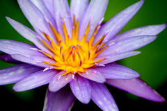 Öppna purpurfärgade Lotus Flower Royaltyfri Fotografi